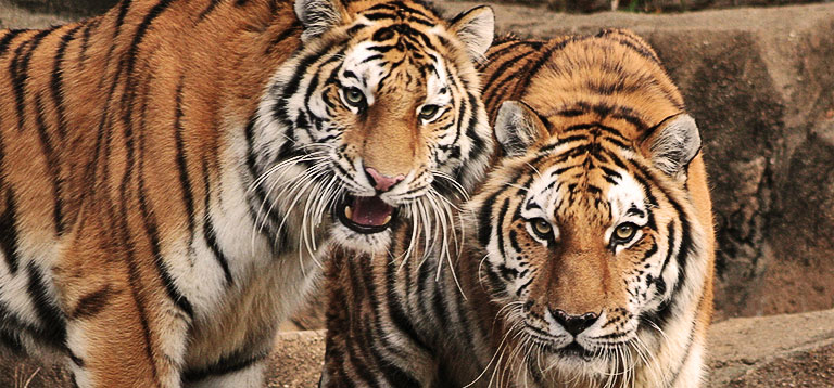 Picture of tigers that you may see at a zoo