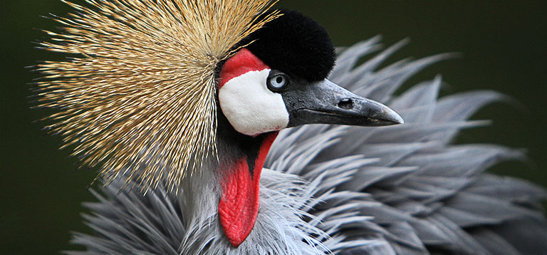 African crowned crane - photo#13